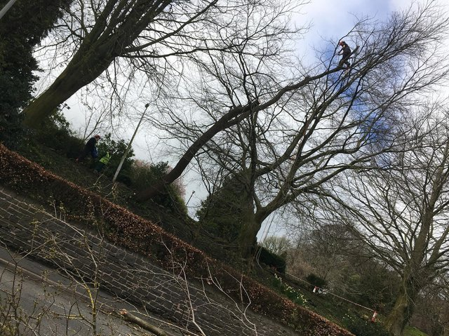Tree surgeon Roy Cattermole battled blustering breeze to fell a 100ft tree uprooted on steep banking at Clitheroe Castle.