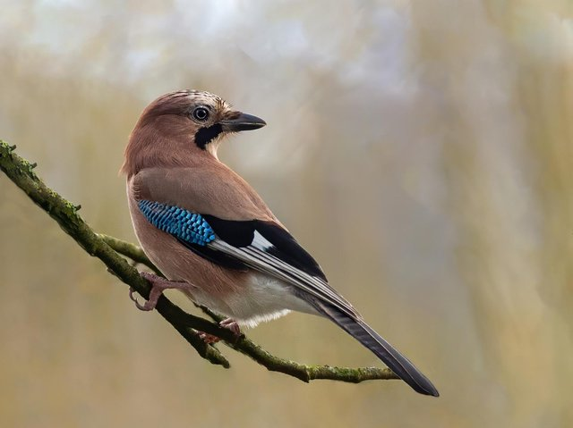 Pat Mansfield's brilliant capture of a jay