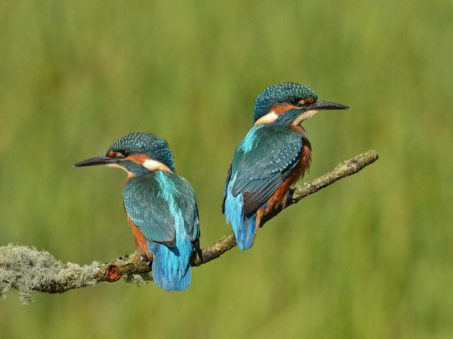 Keith's picture of the two kingfishers