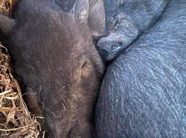 The pig that was poisoned (left) huddles close to her sister as she battles to get well.